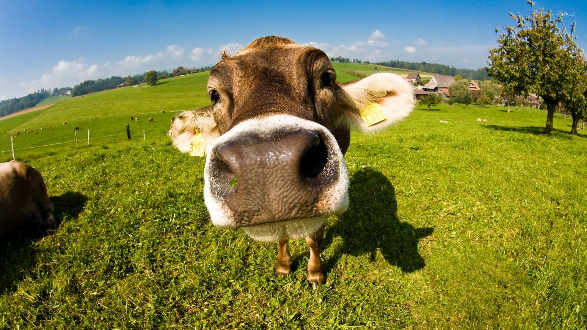 cow image wallpapers 51 wallpapers � wallpapers for desktop
