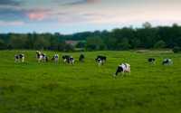 Cow herd wallpaper 2560x1600 jpg