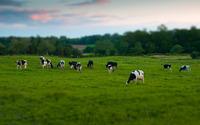 Cow herd wallpaper 2560x1600 jpg