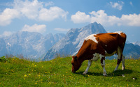 Cow in the Alps wallpaper 2560x1600 jpg