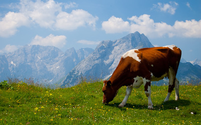 Cow in the Alps wallpaper