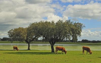 Cows grazing Wallpaper