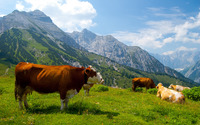 Cows in the Alps [3] wallpaper 2560x1600 jpg