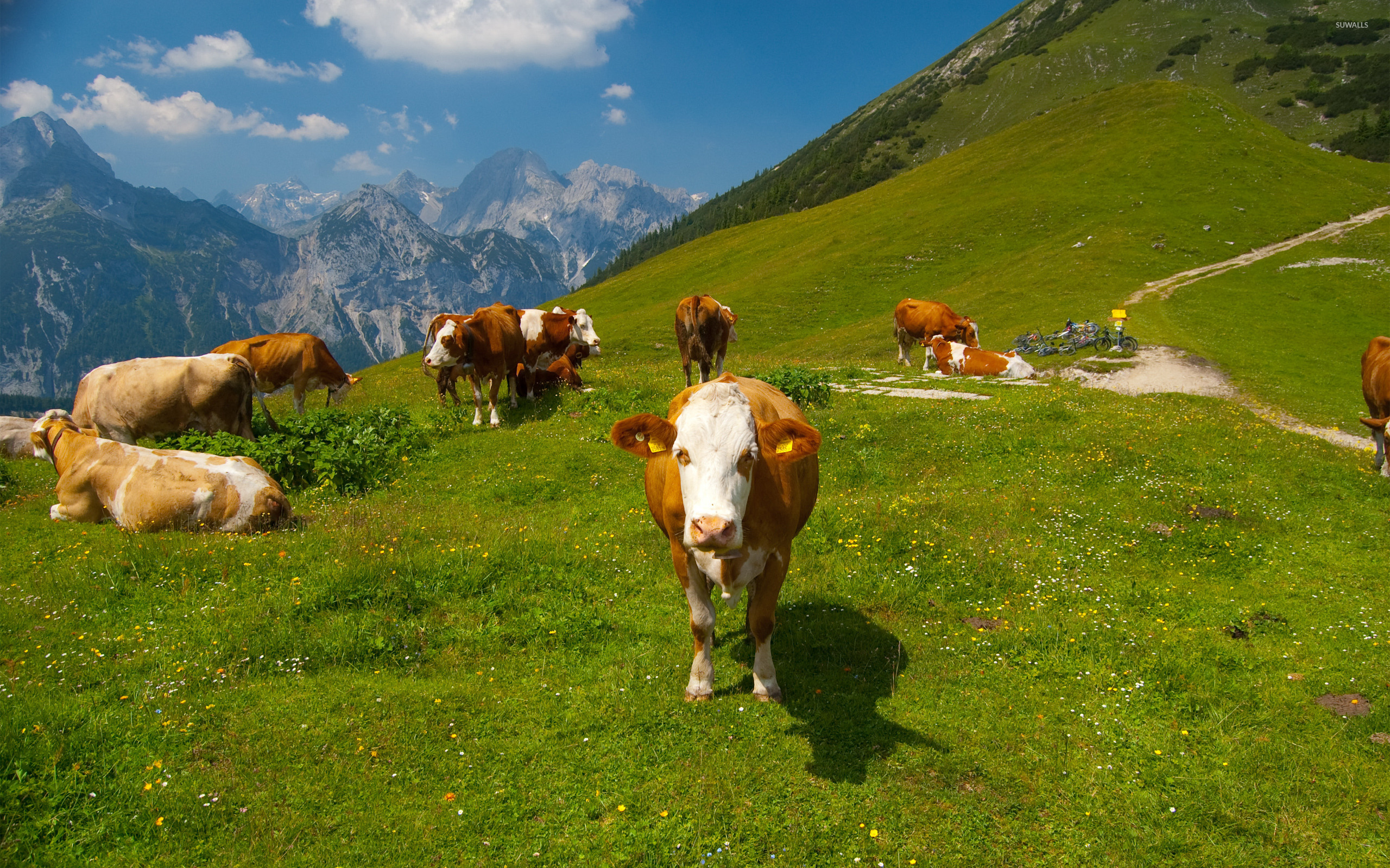 Cows In The Alps Collection 13 Wallpapers