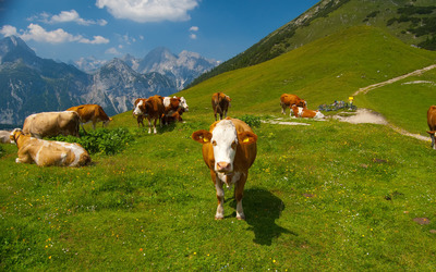 Cows in the Alps [4] wallpaper