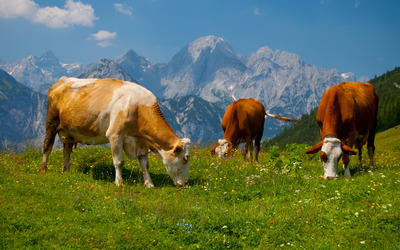 Cows in the Alps [2] wallpaper