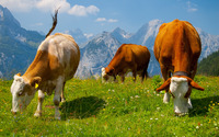 Cows in the Alps wallpaper 2560x1600 jpg