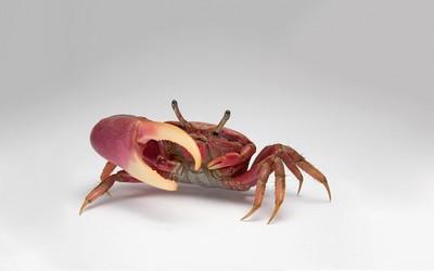 Crab [4] wallpaper