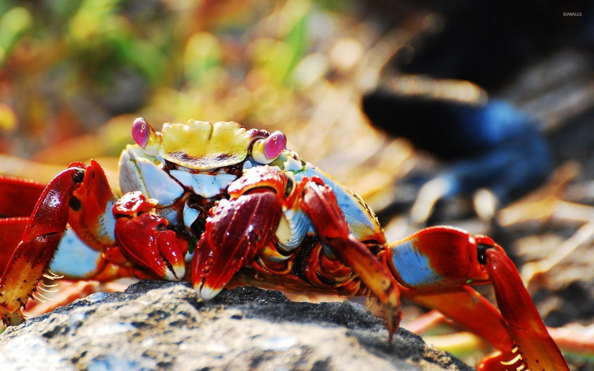Awesome Crab Wallpapers FHDQ Images WPBG Collection