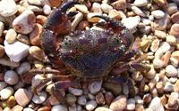 Crab [8] wallpaper 2560x1600 jpg