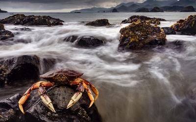 Crab on a rock wallpaper