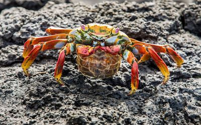 Crab on rock wallpaper