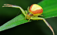 Crab Spider wallpaper 1920x1200 jpg