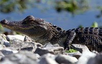 Crocodile [5] wallpaper 2560x1440 jpg