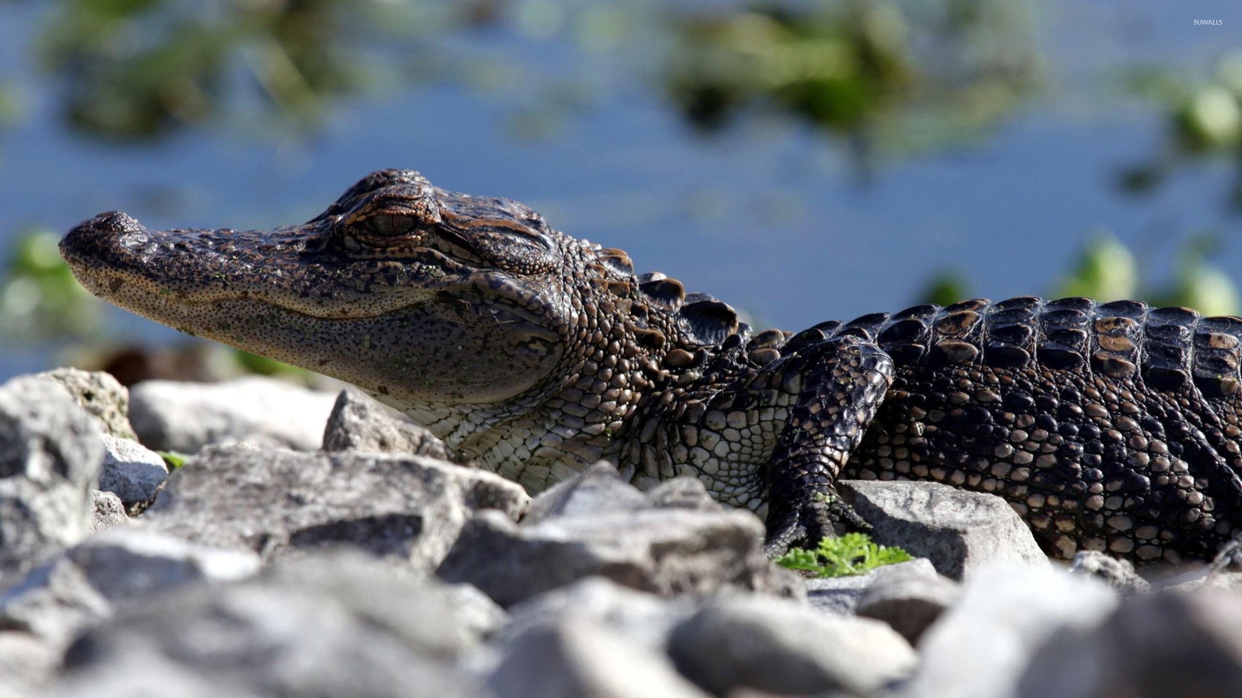 Crocodile [5] wallpaper - Animal wallpapers - #25220
