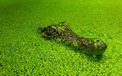 Crocodile [2] wallpaper