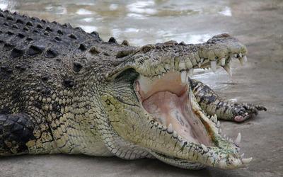 Crocodile [4] wallpaper