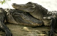 Crocodile couple wallpaper 1920x1200 jpg