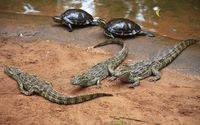 Crocodiles and turtles near the water wallpaper 2880x1800 jpg
