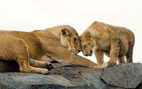 Cub and lioness wallpaper 1920x1080 jpg