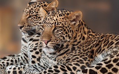 Cuddling leopards wallpaper