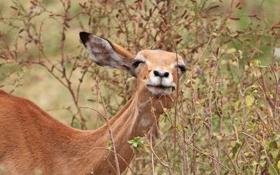 Curious deer wallpaper