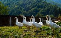 Curious geese wallpaper 3840x2160 jpg
