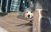 Curious Labrador Retriever puppy wallpaper 2880x1800 jpg