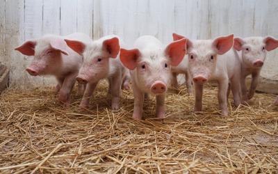 Curious piglets wallpaper