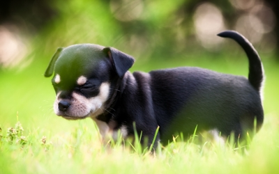 Cute black puppy in the grass wallpaper