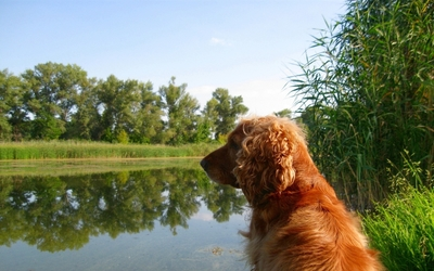 Cute brown dog gazing at the river wallpaper