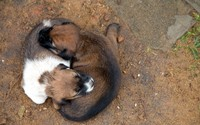 Cute brown puppies sleeping on each other's back wallpaper 2560x1600 jpg