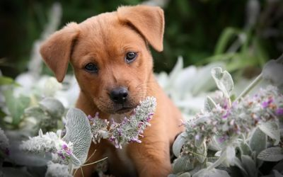 Cute brown puppy in the flowers wallpaper