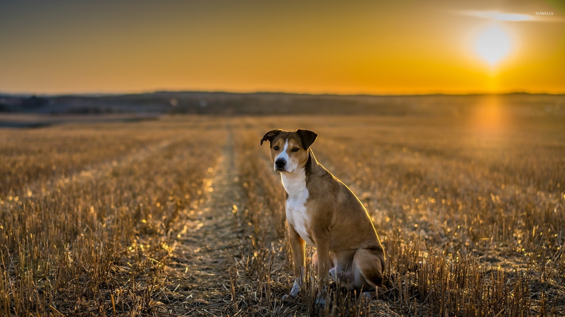 Wonderful Wallpaper Black Adorable Dog - cute-dog-on-the-field-at-sunset-50671-1920x1080  Gallery_201079  .jpg