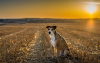 Cute dog on the field at sunset wallpaper 1920x1080 jpg