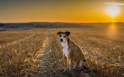 Cute dog on the field at sunset wallpaper
