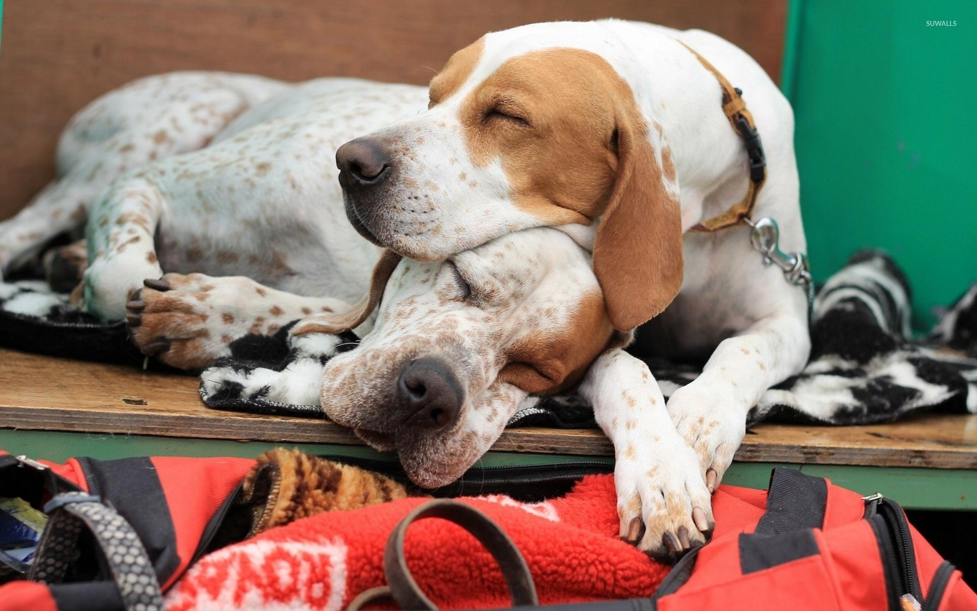 Cute Sleeping Dog Wallpaper Cute Dog Hd Wallpaper Beautiful Color
