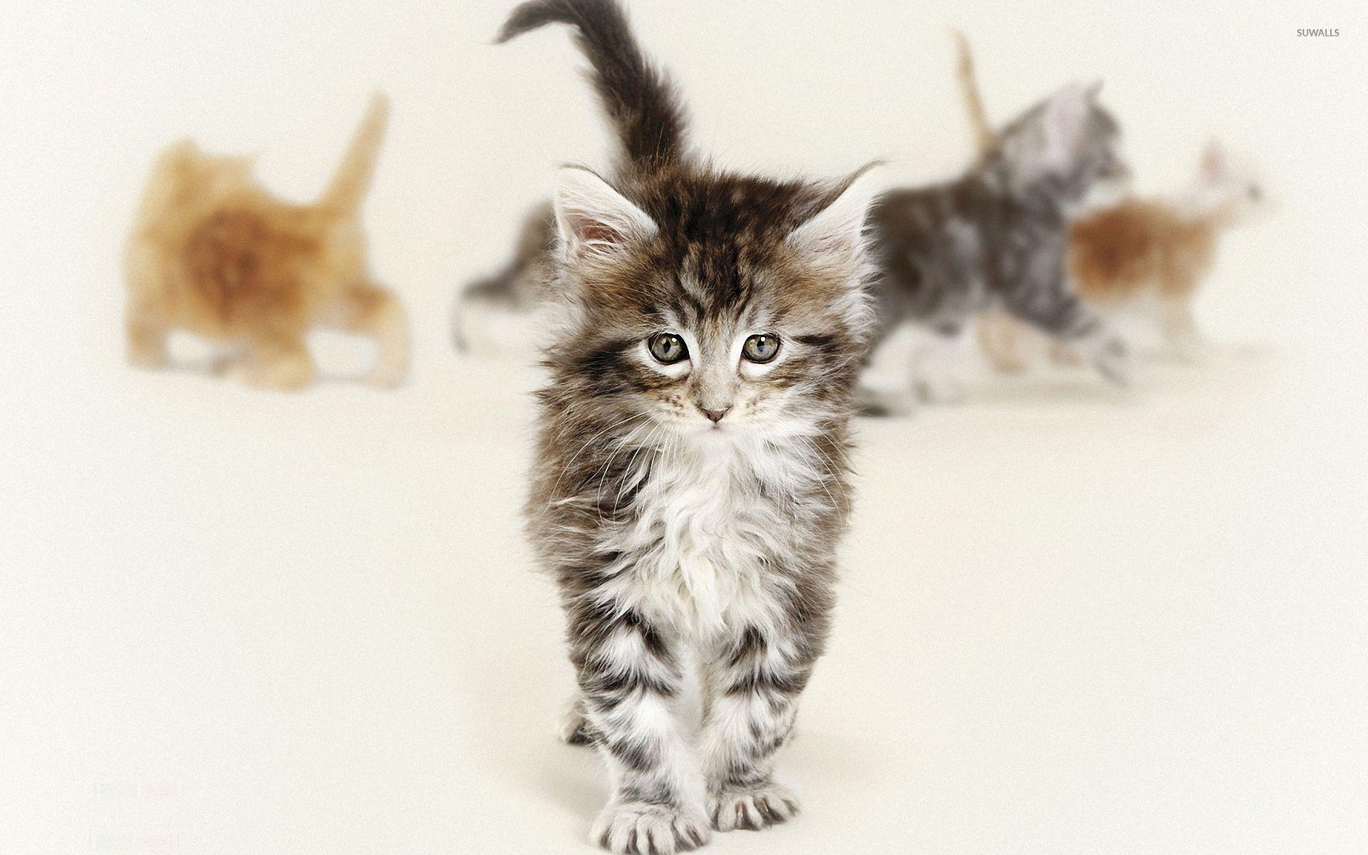 Cute fluffy kitten wallpaper - Animal