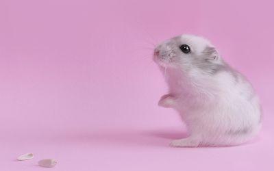 Cute hamster wallpaper
