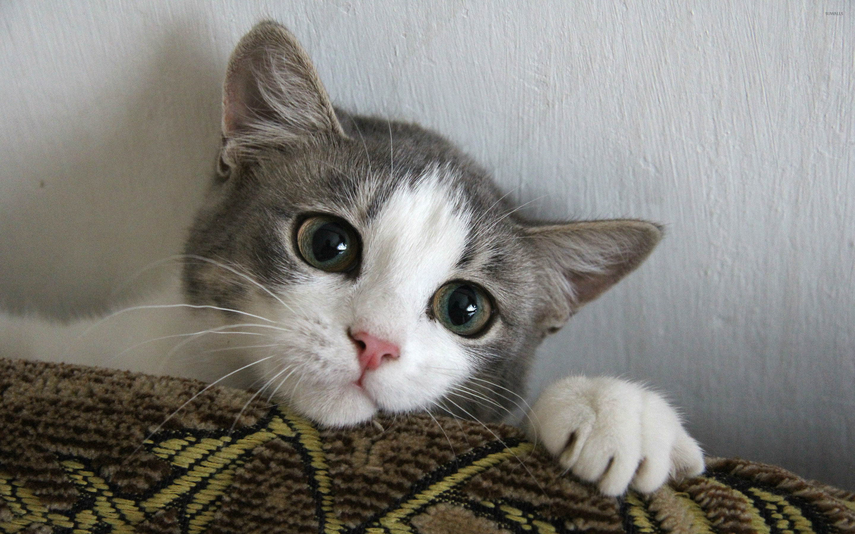 Cute kitten wallpaper animal wallpapers 37952 cute kitten wallpaper thecheapjerseys Choice Image