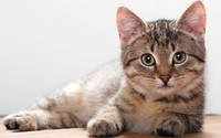 Cute kitten resting on the wooden floor wallpaper 2560x1600 jpg