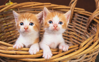 Cute kittens in a basket wallpaper 2560x1600 jpg