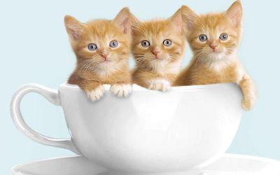 Cute kittens in a cup wallpaper