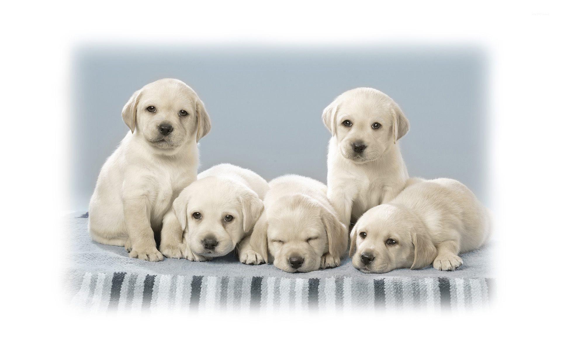 Cute Labrador Puppies Wallpaper Animal Wallpapers 25640
