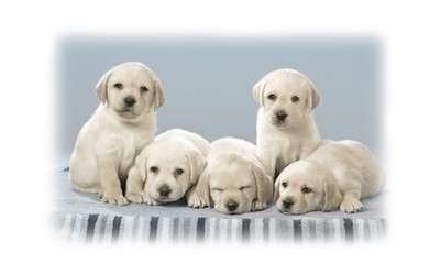 Cute labrador puppies wallpaper