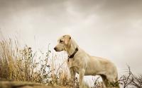 Cute Labrador Retriever wallpaper 1920x1080 jpg
