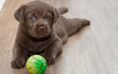 Cute Labrador Retriever puppy with its toy wallpaper