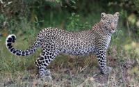 Cute leopard cub on the grass wallpaper 1920x1200 jpg