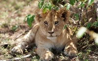 Cute lion cub hiding from the sun wallpaper 2560x1600 jpg