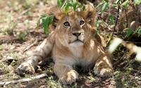 Cute lion cub looking up wallpaper 2560x1600 jpg